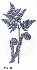 Орляк обыкновенный - Pteridiumaquilinum