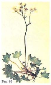 Камнеломка голостебельная - Saxifraga nudicaulis D. Don.
