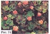 Малина приземистая или малина обыкновенная или морошка - Rubus chamaemorus L.