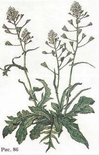 2e32f914e55d Пастушья сумка обыкновенная - Capsella bursa-pastoris (L.) Medik