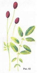 Кровохлёбка лекарственная, черноголовник, ноголовник - Sanguisorba officinalis L. (Sanguisorba glanduloza Коm.)